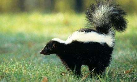 skunk thumb